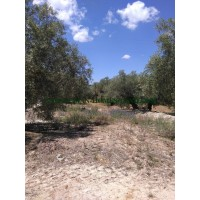 OPPORTUNITY TO PURCHASE. PRODUCTIVE OLIVE FARM